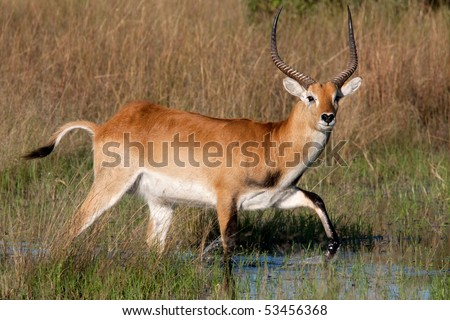 A red lechwe antelope walking through the swamps of the Okavango Delta, Botswana.