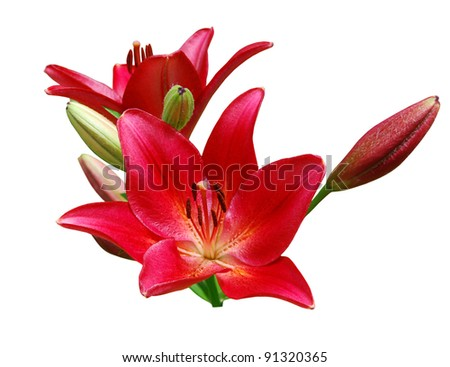 A red lily bouquet isolated white - stock photo