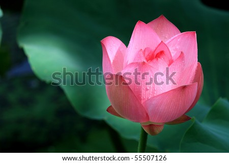 a red lotus flower among green foliage