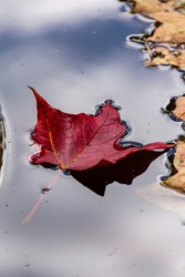 A red maple leaf floating on a pool of water at the start of fall foliage in Vermont