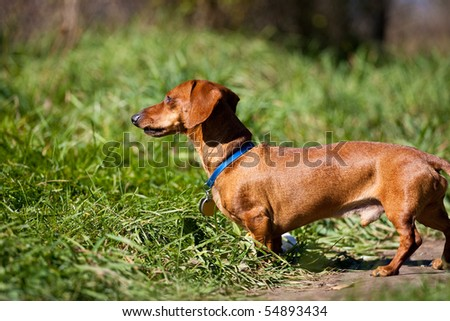 A red miniature Dachshund, posing in the grass in the late afternoon sun.