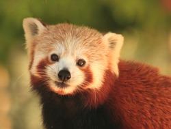 A red panda (Ailurus fulgens) facing the camera