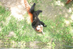 A red panda cub (Ailurus fulgens) resting on the grass of its enclosure in a zoo, photo taken on a warm summer day