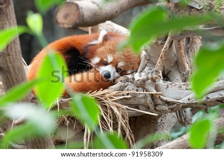 a red panda is sleeping on tree