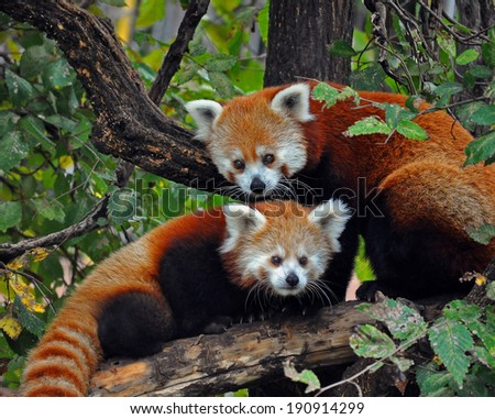 A red panda mother and cub at the Oklahoma City Zoo.
