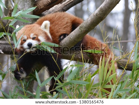 a red panda on a tree eats  bamboo leaves #1380165476