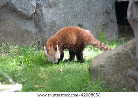 A Red Panda roaming around in the wild