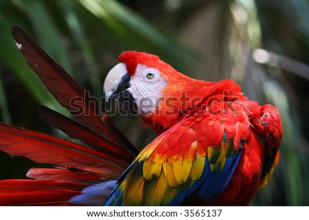 A red parrot cleaning his feathers in a tropical forrest