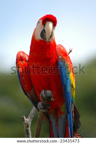 A red parrot poses on a tree branch