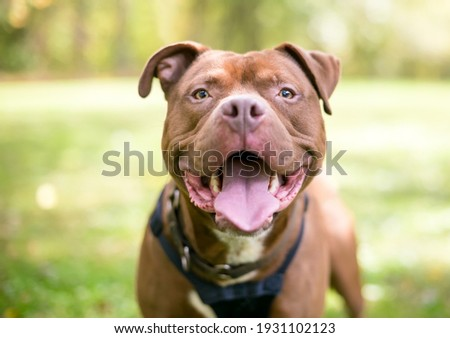 A red Pit Bull Terrier mixed breed dog looking at the camera and panting with a happy expression