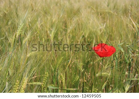 A red poppy isolated on a wheat field