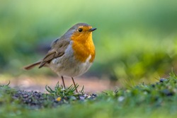 A red robin (Erithacus rubecula) foraging on the ground in an ecological garden. This bird is a regular companion during gardening pursuits