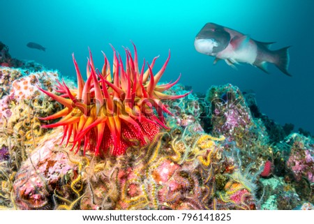 A red rose anemone perched atop a reef in Southern California's Channel Islands attracts a large sheephead gamefish #796141825