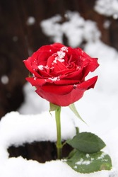 A red rose covered in snow