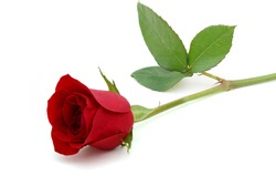 A red rose day
