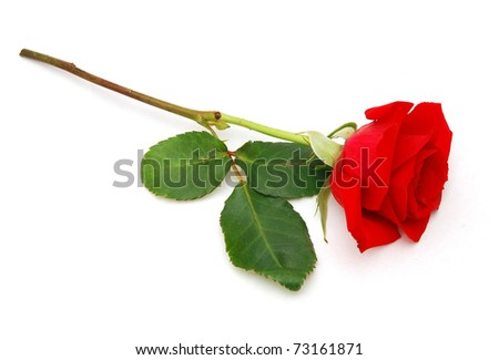 A red rose in gift