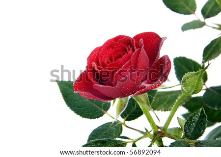 a red rose isolated on a white background
