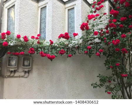 a red rose on a white wall