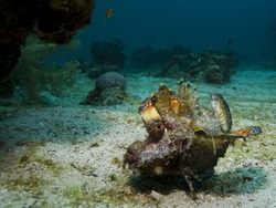 A Red Sea Walkman, a strange-looking fish, sits on sand close to coral