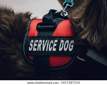 A red service dog vest on a long haired dachshund.