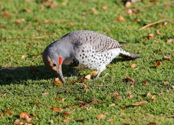 A Red-shafted Flicker hard at work digging in a grass lawn looking for food.