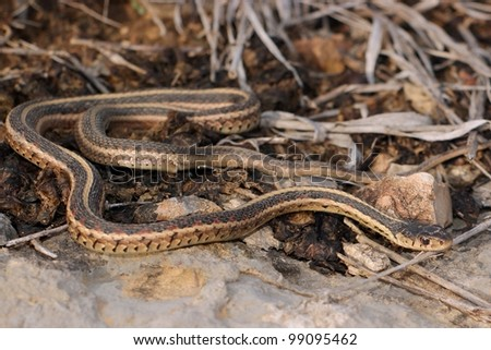 A Red-sided Garter Snake, Thamnophis sirtalis parietalis, warming itself by thermoregulation in the last sunlight of the day