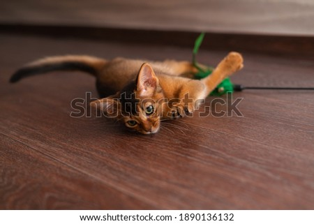 A red somali kitten playing with a toy on the floor lifestyle image. Pets care concept Zdjęcia stock ©