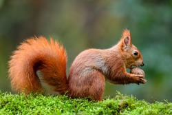 A red squirrel eating a nut on a moss trunk