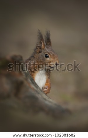 A Red Squirrel from Formby Point on the Wirral. Very cute and very tame, this male was photographed before the dreaded Squirrel Pox took its' toll.
