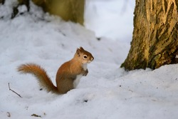 A red squirrel standing in the snow at the base of a tree