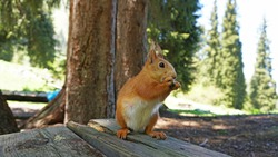 A red squirrel with a bushy tail nibbles a nut. Takes a nut from his hand. Forest environment. Green moss on trees. Squirrel sitting on a bench. Funny forest animal.