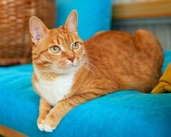 A red tabby cat is sitting on a blue sofa. Pets, cats. Care and pet food.
