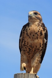 A Red-Tailed Hawk balances on a fence post with one leg.