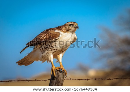 A Red-tailed Hawk (Buteo jamaicensis) perched on a pole Сток-фото ©