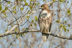 A Red-tailed Hawk is perched on a tree branch looking down. Colloquially known as a Chickenhawk. Tommy Thompson Park, Toronto, Ontario, Canada.