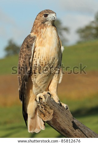 A Red tailed Hawk on a tree branch