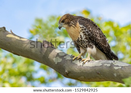 A Red-tailed Hawk perched on a branch.