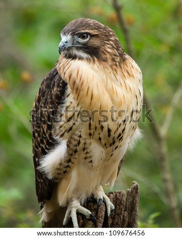 A red-tailed hawk perches on an old tree trunk. - stock photo