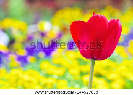 A red tulip flower with colorful flower garden