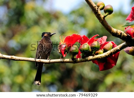 A Red-vented Bulbul perched on a Silk-cotton tree with blooming red flowers, out of focus background, copy space