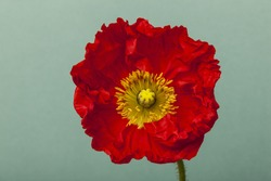 A red(yellow) opium poppy flower close up in the emerald green background at the studio.