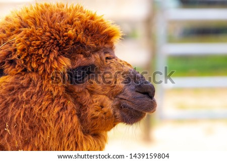 A reddish brown furry alpaca profile with blurry fence in background at farm