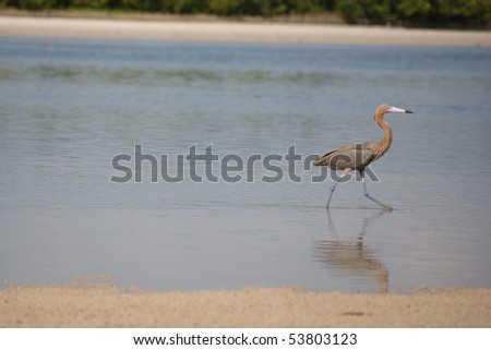 A reddish egret (a dark morph) wades through the water in search for food.
