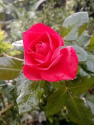 A Redrose blooming from the month of November'2019