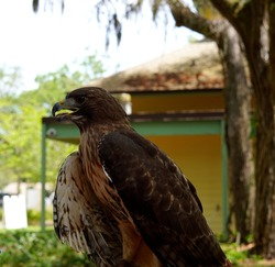 A Redtail hawk in Clearwater, Florida.