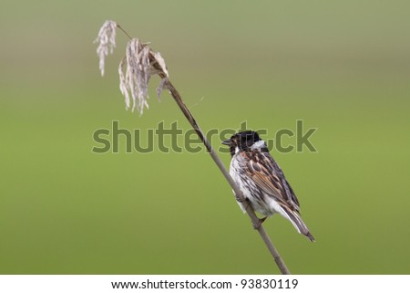 A Reed Bunting in the reeds