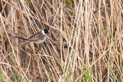 A reed bunting sits on the stalk of reeds