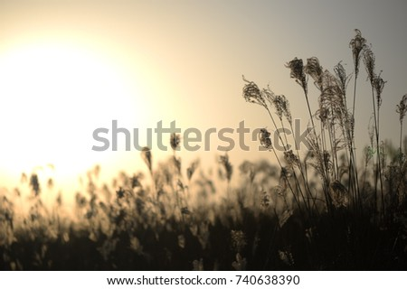 A Reed. Reed and Sunset. Reed forest. #740638390