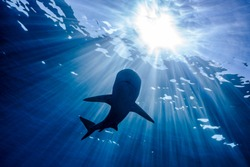 A Reef Shark swims in the blue ocean with sun rays piercing the water