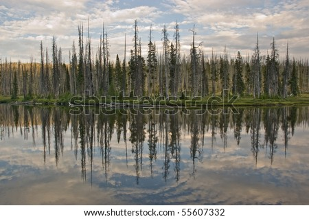 A reflection of a burned pine forest on Lewis Lake in Yellowstone National Park, Wyoming